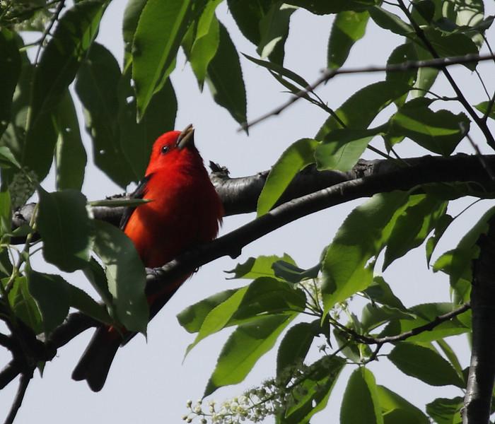 Scarlet Tananger<br /> Pocosin Cabin, Shenandoah National Park