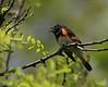 American Redstart<br /> Pocosin Cabin, Shenandoah National Park