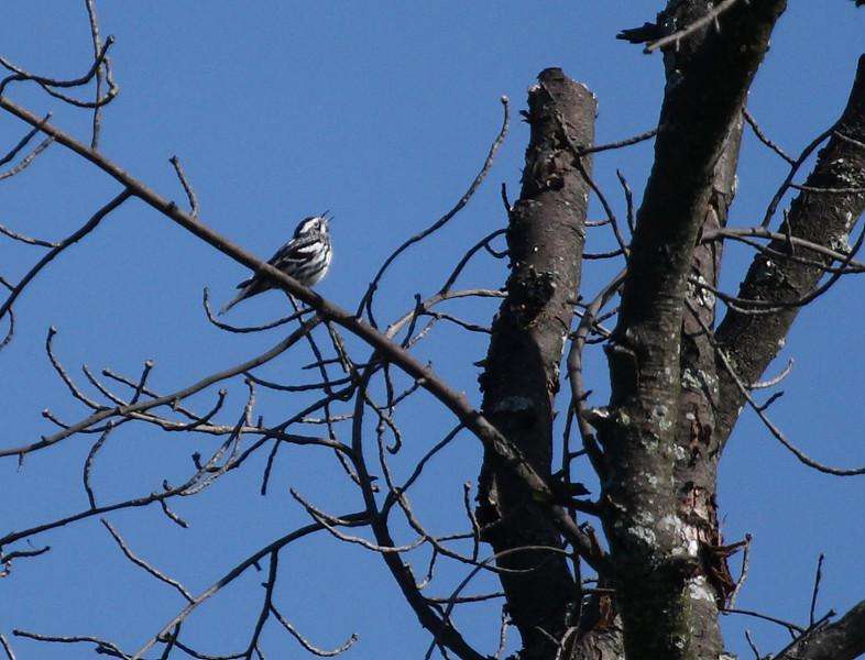 Black-and-White Warbler<br /> Shenandoah Mountain