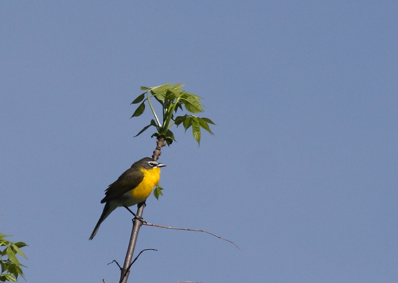 Yellow-breasted Chat<br /> Shenandoah National Park