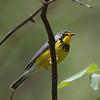 Canada Warbler<br /> Shenandoah Montain