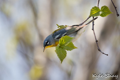 May 25th 2015 Redeye Viero Northern Parula Yellow Warbler Osprey Russell lake Trail