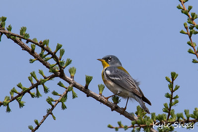 May 27th 2015 Northern Parula Black and White Warbler Magnolia Warbler