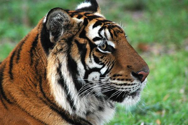 McKinney Tiger Shoot