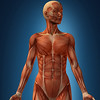 This image was part of a series of illustrations for a contract Polygone Studio got from Educalivre to illustrate the human body in a book for high school students.