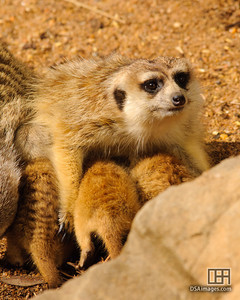 Young meerkat pups with their mother