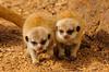 Young meerkat pups