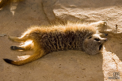 A meerkat of leisure