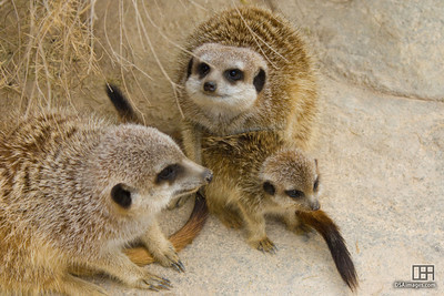 Meerkat pup
