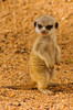 Young meerkat pup