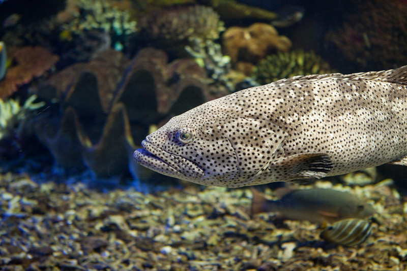 black-spotted rock cod