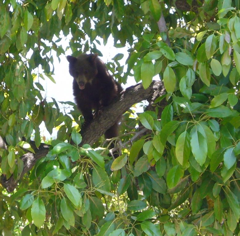 In the avocado tree