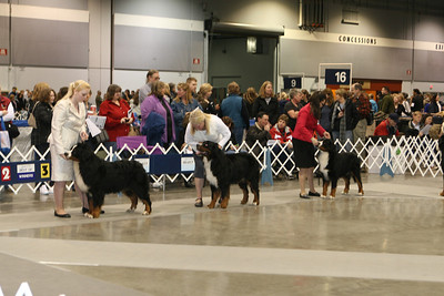 Merik and other dogs in the open ring at Rose City Classic (January 2012).