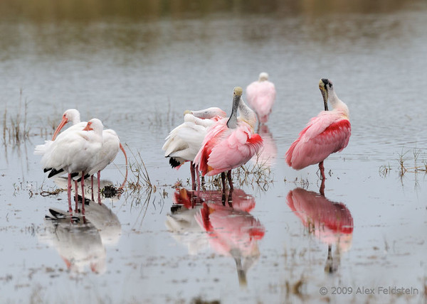 Roseate spoonbills and white ibis