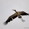 Wood stork on an overcast day