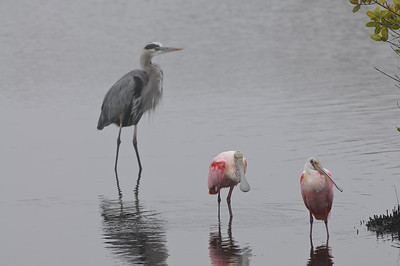 Great Blue Heron and Roseate Spoonbills