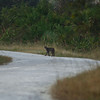 Peacock's Pocket Road - Bobcat