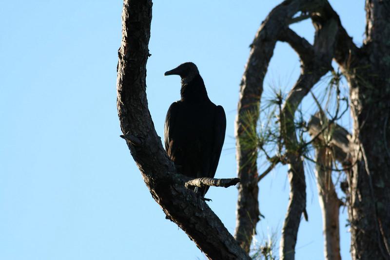 Peacock's Pocket Road - Black Vulture