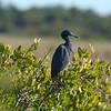Peacock's Pocket Road - Little Blue Heron