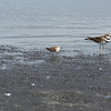Least Sandpiper and Killdeer