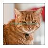 Spoutnik le lendemain de Noël 2010. Nous avons dû l'endormir en janvier 2011, ses reins le lâchant définitivement... Ce chat particulièrement affectueux restera toujours dans nos coeurs.