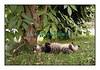 Smarties à la sieste dans le jardin, sous un sureau, en 2006. A good siesta!