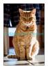 Spoutnik le lendemain de Noël 2010. Nous avons dû l'endormir en janvier, ses reins le lâchant définitivement... Ce chat particulièrement affectueux restera toujours dans nos coeurs.
