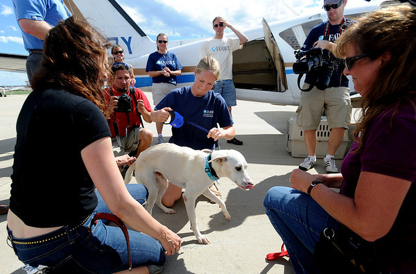 "Alvina the rescue dog is greeted by a crowd at Vance Brand Airport in Longmont.<br /> The International Fund for Animal Welfare (IFAW) partnered with the Longmont Humane Society to rescue 9 dogs from the Cozumel, Mexico city dump ang bring them to Longmont. For a video  and photo gallery of the dogs' arrival, go to  <a href=""http://www.dailycamera.com"">http://www.dailycamera.com</a>.<br /> Cliff Grassmick / July 14, 2010"