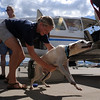 "Kate Atema of IFAW tries to hold back an excited Alvina after arrival in Colorado.<br /> The International Fund for Animal Welfare (IFAW) partnered with the Longmont Humane Society to rescue 9 dogs from the Cozumel, Mexico city dump ang bring them to Longmont. For a video  and photo gallery of the dogs' arrival, go to  <a href=""http://www.dailycamera.com"">http://www.dailycamera.com</a>.<br /> Cliff Grassmick / July 14, 2010"