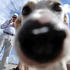 "Alvina the rescue dog introduces herself to the camera as new owners, Peter and Dana Carey, look on.<br /> The International Fund for Animal Welfare (IFAW) partnered with the Longmont Humane Society to rescue 9 dogs from the Cozumel, Mexico city dump ang bring them to Longmont. For a video  and photo gallery of the dogs' arrival, go to  <a href=""http://www.dailycamera.com"">http://www.dailycamera.com</a>.<br /> Cliff Grassmick / July 14, 2010"