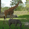 Giraffe and Grant's Zebra