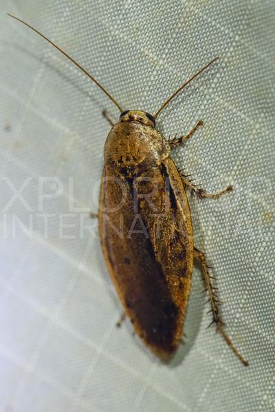 Giant Cockroach - Need ID