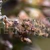 Spotted Flower Buprestid