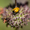 Convergent Lady Beetle - Need to Confirm