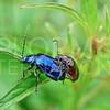 Metallic Flea Beetles