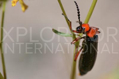 Master Blister Beetle 2