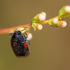 Red-shouldered Leaf Beetle