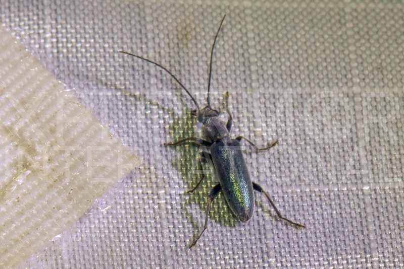 False Blister Beetle - Need ID