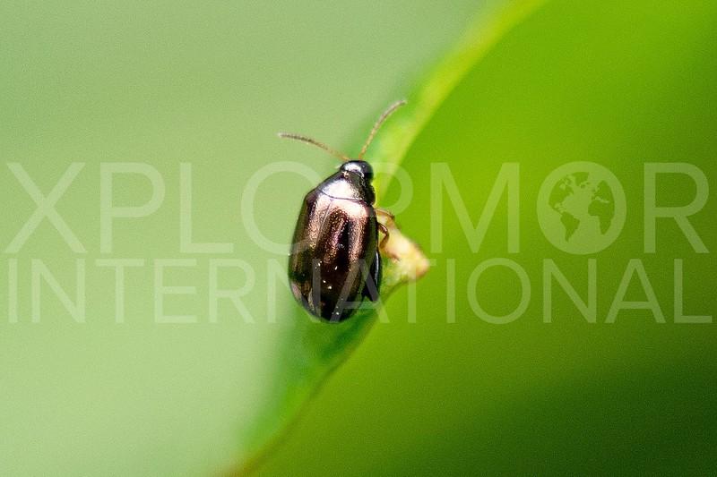 Flea Beetle - Need ID