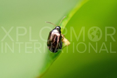 Flea Beetle - Need ID