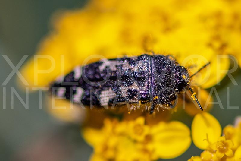 Yellow-marked Buprestid Beetle - Need ID