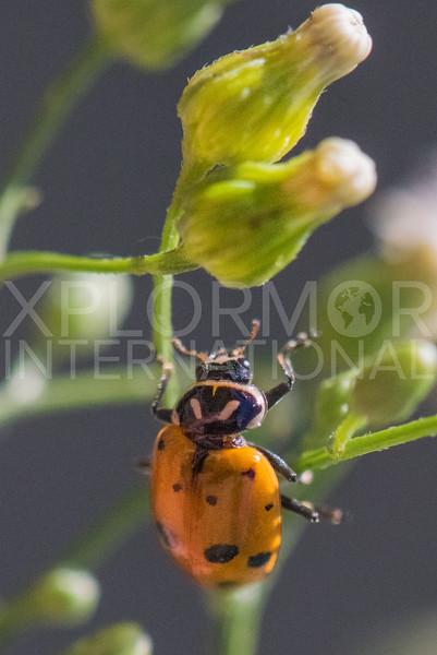 Convergent Lady Beetle