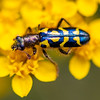 Ornate Checkered Beetle