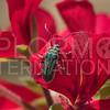 Coyote Brush Leaf Beetle