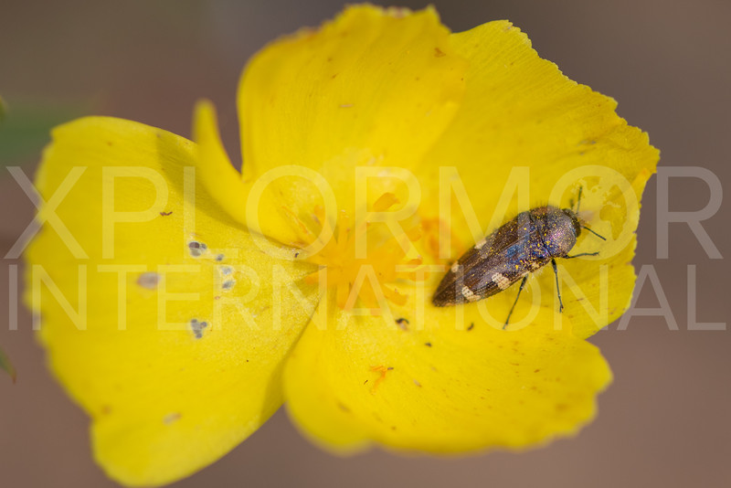 Yellow-marked Buprestid Beetle