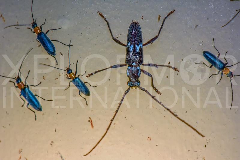 Longhorn Beetle (with False Blister Beetles)