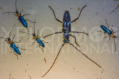 Long-horned Beetle and Soldier Beetles