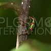 Jewel Weevil
