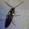 Headlight Beetle - Need ID