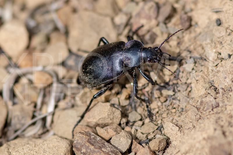 Black Calosoma